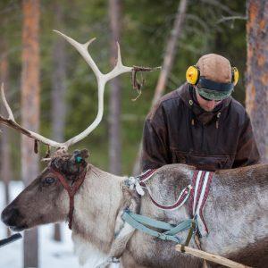 Harriniva Hotels & Safaris Reindeer 22