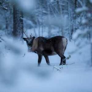 Harriniva Hotels & Safaris Reindeer 26
