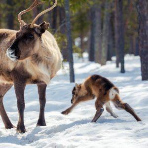 Harriniva Hotels & Safaris Reindeer 3